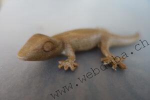 Gecko (Holz)